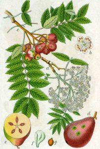 Sorbus domestica (Speierling)